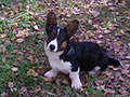 Picture of welsh corgi cardigan puppy