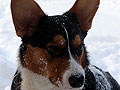 welsh corgi cardigan puppy photo