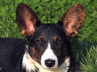 Welsh corgi cardigan Chana