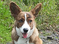 Brindle welsh corgi cardigan puppy Zamok Svyatogo Angela ELF