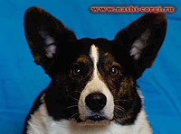 Welsh corgi cardigan Frai