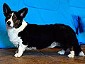 brindle tricolor welsh corgi cardigan