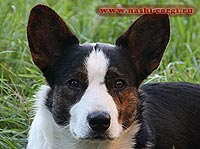 Welsh corgi cardigan Fiko