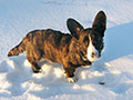 brindle welsh corgi cardigan