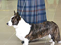 Brindle welsh corgi cardigan Zamok Svyatogo Angela KATERINA on dog-show