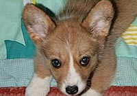 Welsh corgi cardigan Margo