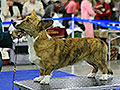 Welsh corgi cardigan Fannie at the International dogshow Eurasia-2013