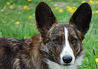 Welsh corgi cardigan Odin