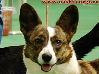 Welsh corgi cardigan Iriska