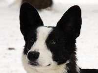 Welsh corgi cardigan Prior
