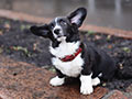 Welsh corgi cardigan puppy boy Lvinaya Lapa Richarda