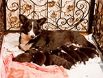 Welsh corgi cardigan puppies in Siberia Russia