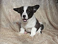 welsh corgi cardigan puppy