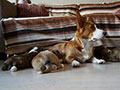 Welsh corgi cardigan puppies kennel Zamok Svyatogo Angela Russia