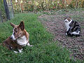 Brindle welsh corgi cardigan puppy Zamok Svyatogo Angela RUTH