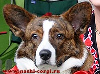 Welsh corgi cardigan Saveliy