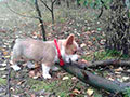 Red and white welsh corgi cardihan puppy Zamok Svyatogo Angela YAKOV
