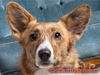 welsh corgi cardigan Fannie