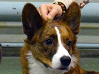 Welsh corgi cardigan Kora